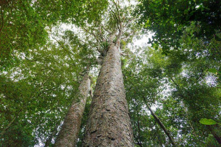 Kauri Bäume in Neuseeland | © Boardshortslife