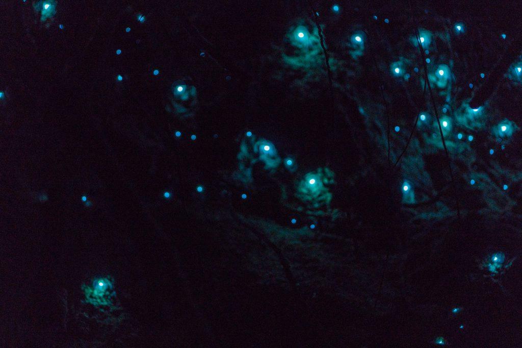 McLaren Falls Glowworms