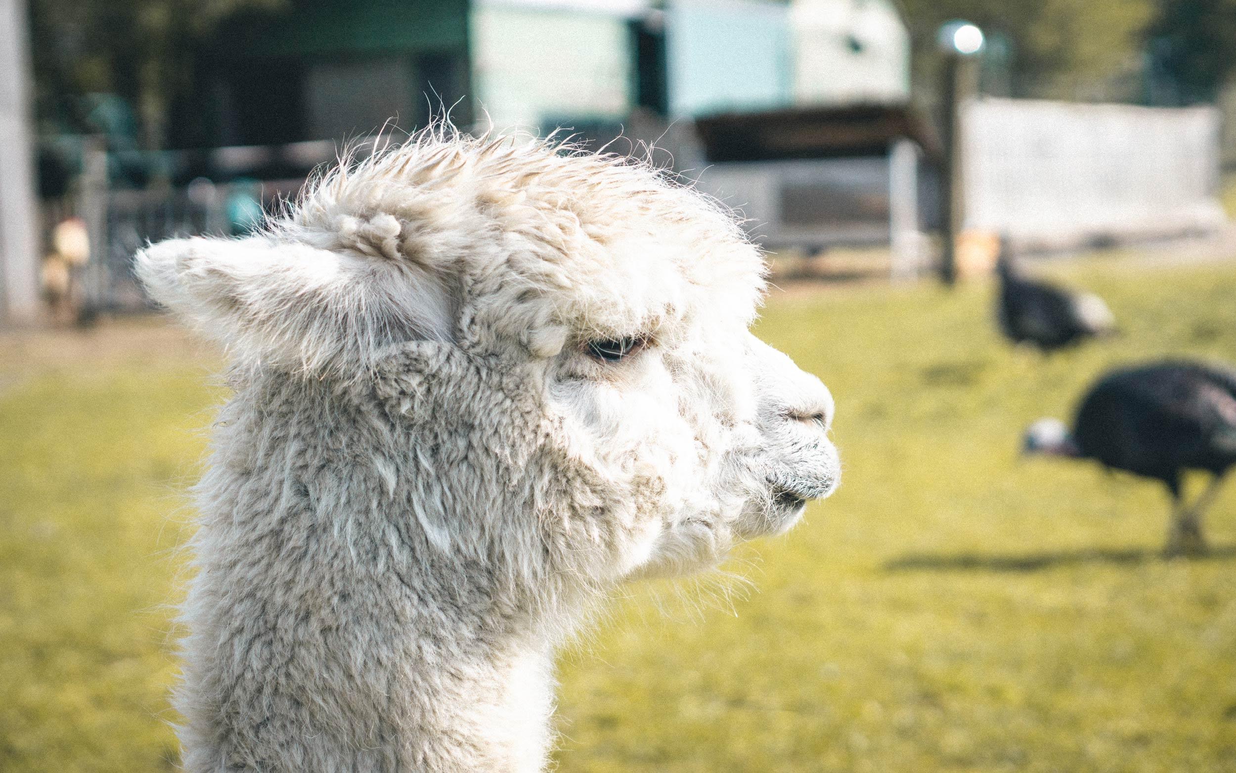 Alpaka Dame auf dem Hof Alpaka Hollich