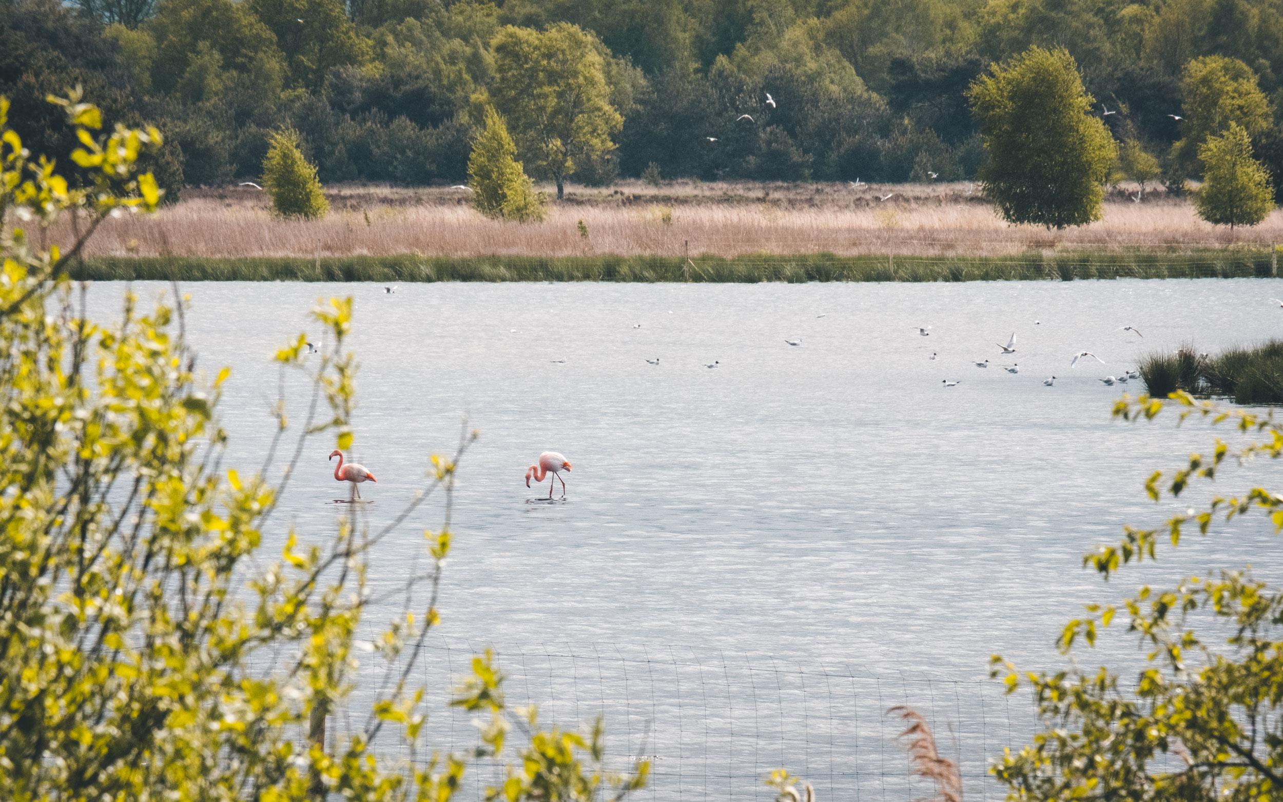 Zwillbrocker Venn Flamingos