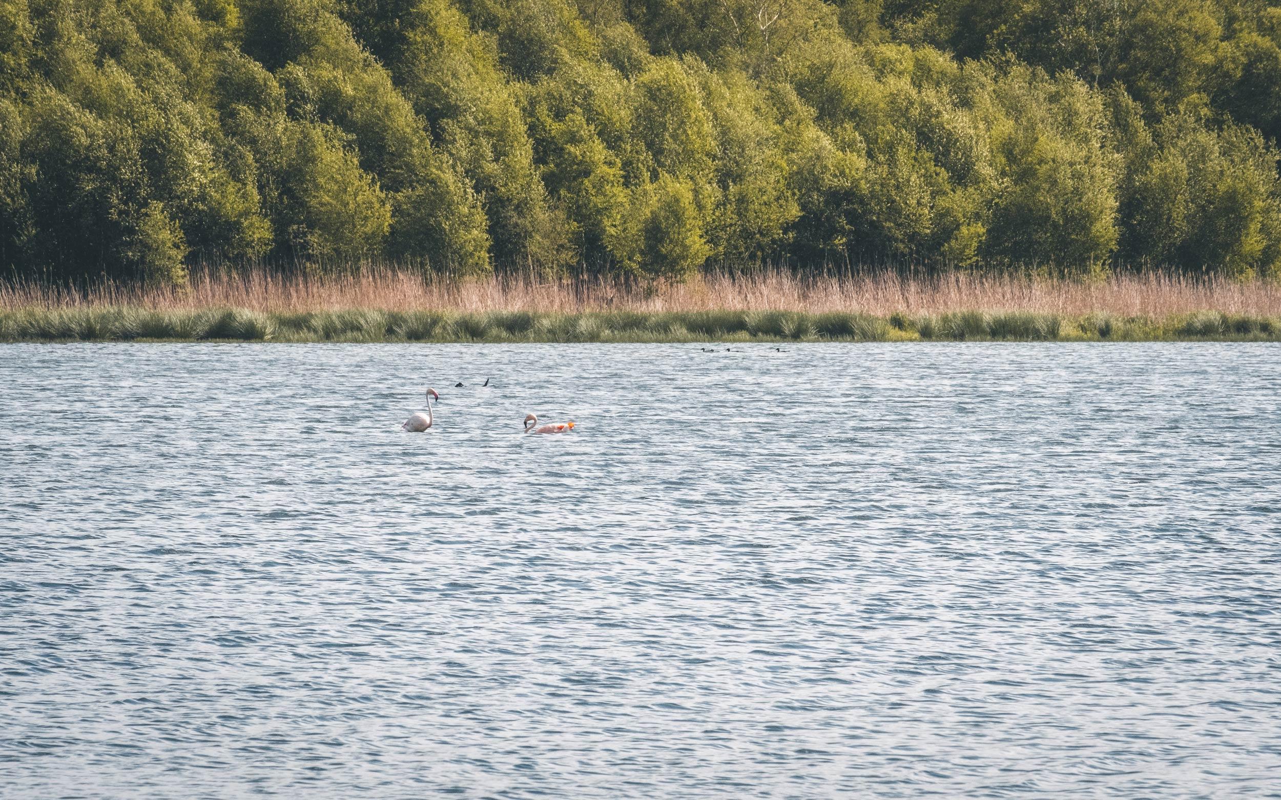 Zwillbrocker Venn Flamingos schwimmend
